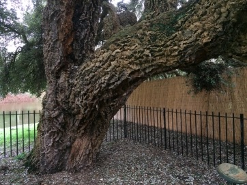 Railings protect this venerable tree