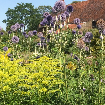 Echinops and goldenrod