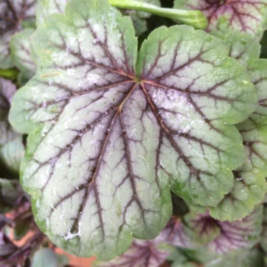 Heuchera leaf